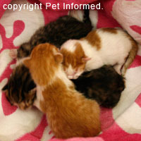 Tiny newborn kittens - prime candidates for coccidiosis disease - coccidia infection.