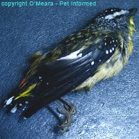 A spotted pardalote killed by a feral cat.