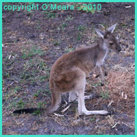 Kangaroos are an intermediate carrier of hydatid cysts and unilocular hydatid disease in Australia.