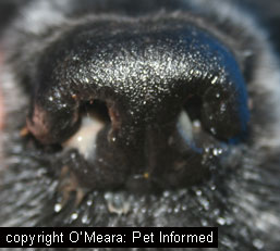 Nasal discharge from a dog with pneumonia. Such secretions could shed canine distemper virus particles into the environment, feed dishes and water bowls, where they could infect other dogs.