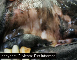 These are the pale, almost white, gums of a dog that was in severe shock as a result of excessive haemorrhage. This animal could have eaten rodenticide.