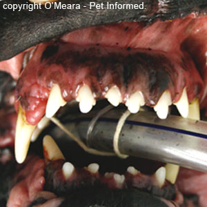 The front teeth of a dog with acromegaly.