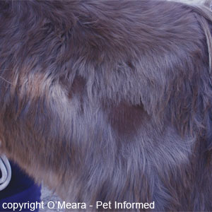 Horse louse pictures - Chronically damaged hair and skin can change colour and the hairs may grow back paler or darker in shade.