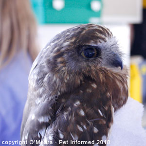 Female boobook owls are larger than males.