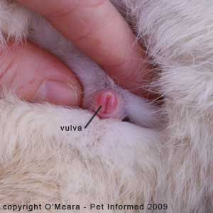 Sexing rabbits - the vulva of the female rabbit is shaped like a vertical slit.