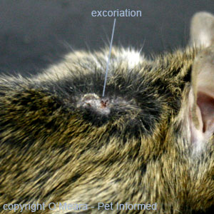 Mouse lice pictures - This lice-infested mouse had literally torn the fur from its body (notice the bald spots) and had scratched its skin to the point of bleeding, leaving behind big sores and scabs on the skin.