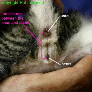 Male kitten sexing - image of male kitten genitalia.