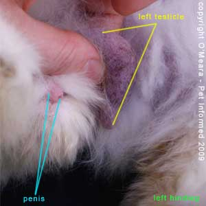 Sexing rabbits picture - The groin region is where the testicle of the male rabbit likes to hang. The rabbit's penis is also visible in this image.