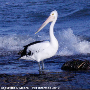 The male pelican is larger than the female. The sexes are otherwise almost identical in appearance.