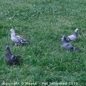 Wild pigeons can carry trichomonas gallinae or pigeon canker.