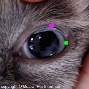 This is the eye of that same dead cat. Notice how dilated the feline's pupils are (the pupil is bordered by the iris, a tiny strip of blue marked with a green arrow).