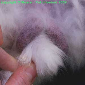 Sexing rabbits images - This is a close-up picture of the male rabbit's genital region. The thin-skinned, purple-coloured scrotal sacs are clearly visible.