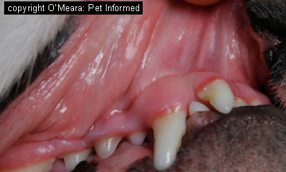 Image of normal, pink dog mucous membranes. The epithelial cells lining the mouth can become infected by distemper.
