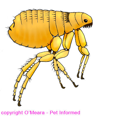 'What do fleas look like?' diagram. This is a basic diagram of a Ctenocephalides flea, showing the basic anatomy.