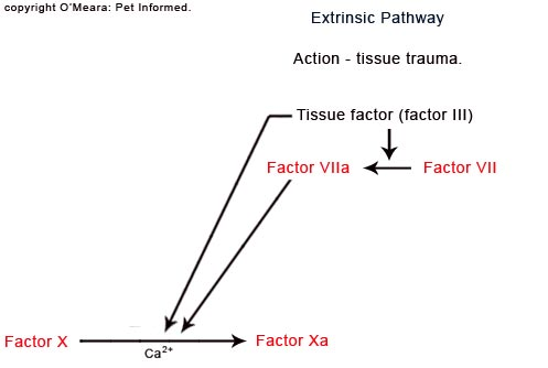 The extrinsic pathway of the blood clotting cascade, which becomes disrupted by rodenticide poisoning.