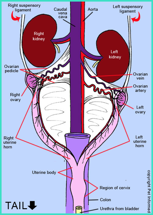 Diagram of the reproductive organs (anatomy) of the female dog. Knowledge of this anatomy is needed for dog spaying surgery.