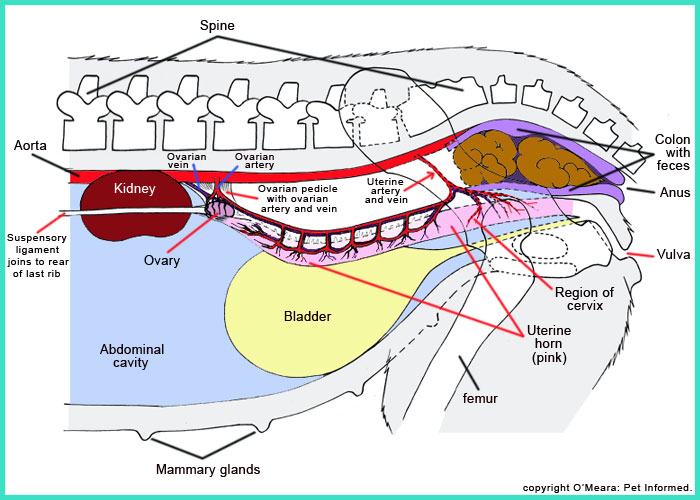 Lateral diagram of the reproductive structures of the female dog ...