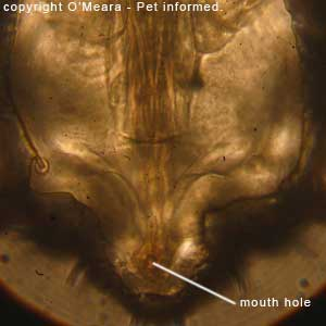 Louse photos - This is a labeled picture of the sucking louse's mouth.