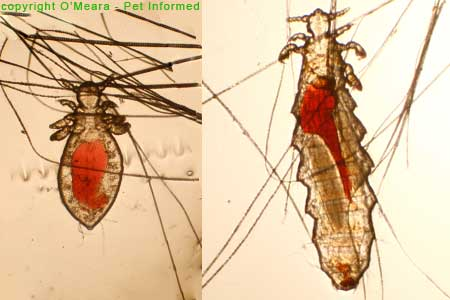 Lice pictures - These are adult (right) and nymph (left) sucking lice from the mouse. The louse species is called Polyplax serrata.