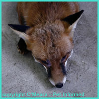 The fox is a common carrier of hydatid tapeworms.