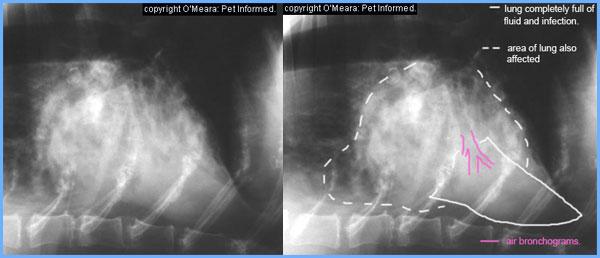 Canine sinus aspiration infection