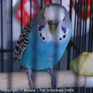 Bird sexing images - a mature female budgie has a brown cere.