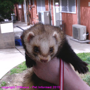 Ferret sexing pictures - a large male (hob) ferret.