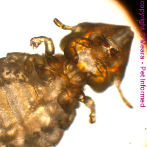 Lice photo - This is a pic of Felicola, the biting louse of the cat (feline louse), taken from beneath the insect's body.