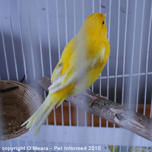 Bird sexing pictures - a female canary.