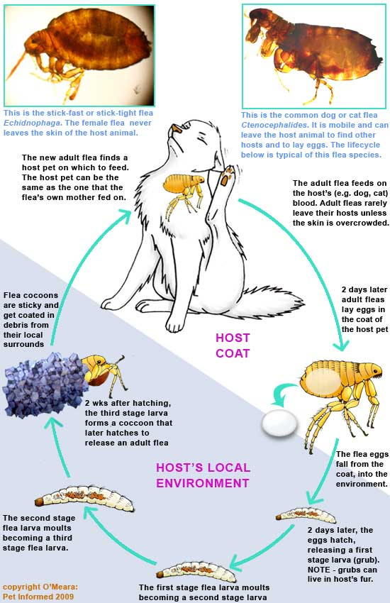 The Flea Life Cycle And How It Guides Flea Control And