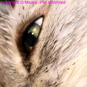 Cat fleas picture - The cat fleas were Ctenocephalides felis and they were fully engorged with cat blood. Look at the big, bloated adult flea on the cat's eyelid.