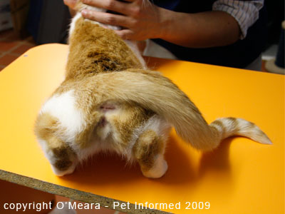 The female cat in heat holds her tail to the side to encourage mounting and mating by the male cat.