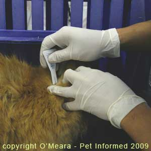 Frontline being applied to the fur of a lice-infested cat.