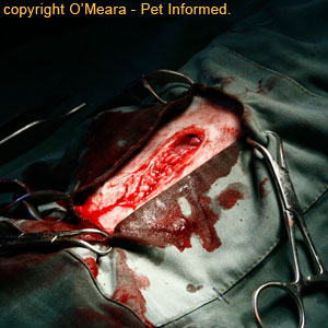 Pregnant cat spay - the appearance of the linea alba once it has been sutured closed.