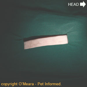Cat spay procedure image - A drape is placed around the surgical cat spay site just prior to the first incision being made.