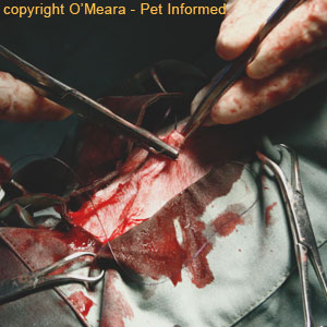 Cat spay image - The surgeon is closing the skin using absorbable skin sutures that don't need removal.