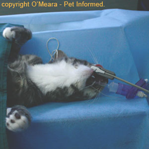 The pregnant feline is anesthetized prior to cat spaying surgery.