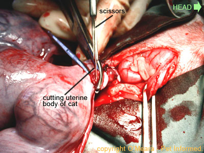 Pregnant cat spay pic - the uterine body is transected (cut off) above the level of the ligatures.
