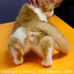 Female cats in heat hold their tails to one side to encourage mounting and mating by the male cat.