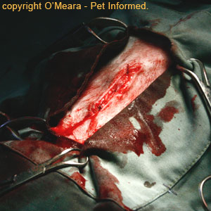 Pregnant cat spay - The subcutaneous fat layer (sub-q or SC layer) is closed to reduce dead space.