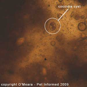 Fecal float parasite pictures - a cat coccidia oocyst.
