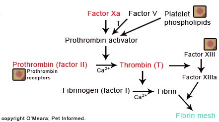 The common pathway of the blood clotting cascade. This path also becomes disrupted by rodenticide poisoning.