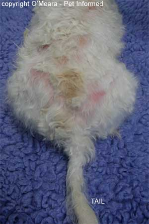 This is an image of flea allergy dermatitis (FAD) in a Maltese terrier.