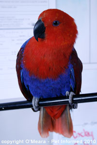 The female eclectus parrot is red and blue and the male is bright green.