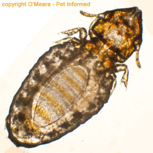 Lice photo - This is a photo of the cat louse. The abdomen of the louse is the large rear section, behind the thorax and legs.