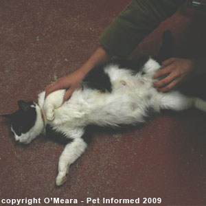 Feline pregnancy signs - the pregnant cat has a swollen belly and large teats.