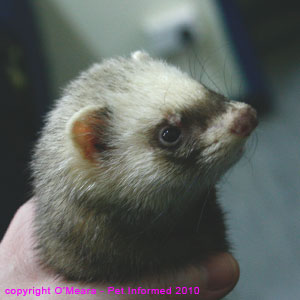 Ferret sexing photograph - a small female (jill) ferret.