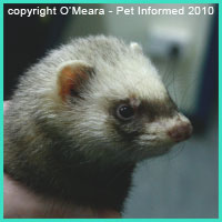 Ferrets are really easy to determine the sex of.
