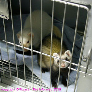 Sexing ferrets - male (white) and female (polecat) ferret images.