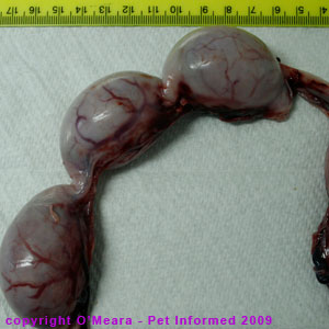 The uterus of a pregnant cat at 4 weeks gestation.